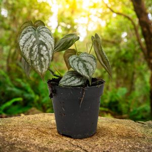 Philodendron-Brandtianum- - side view